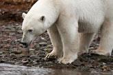 Polar Bear by Joe Decker